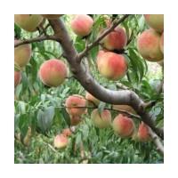 占地桃树 占地苹果树